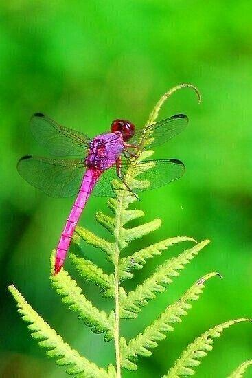 Libelula rosa                               https://ru.pinterest.com/josieattley/butterflies-insects/