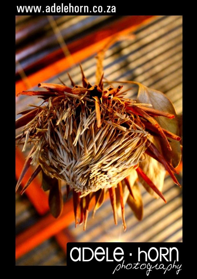 dried protea flower in parys