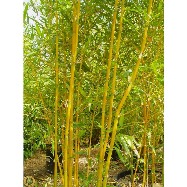 17 best images about bamboo on pinterest gardens bamboo hedge and black bamboo plant. Black Bedroom Furniture Sets. Home Design Ideas
