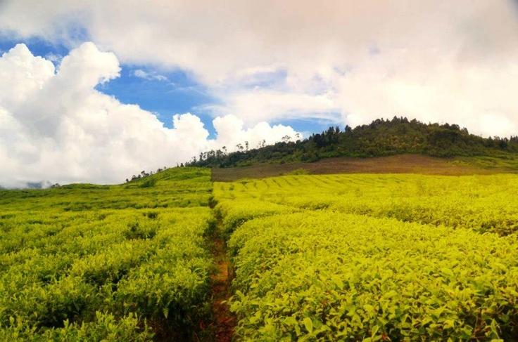 tea garden, west sumatera  (with nikon D7000, 18-105mm, CPL filter, build-in flash)