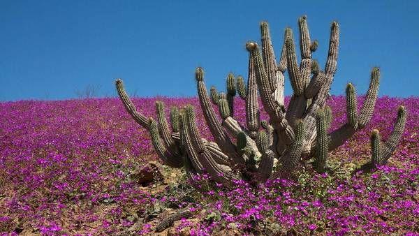 Au Chili, dans le désert d'Atacama, il a plu deux fois cette année, alors des fleurs poussent