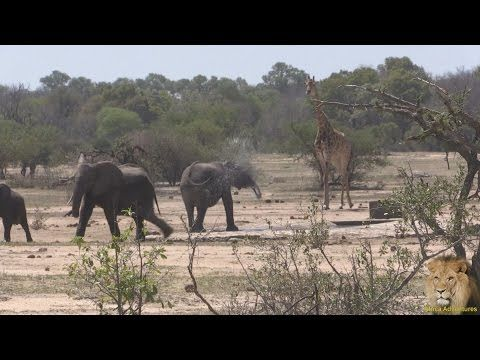 African Safaris | Giraffe chase Elephants from Waterhole | Taga Safaris