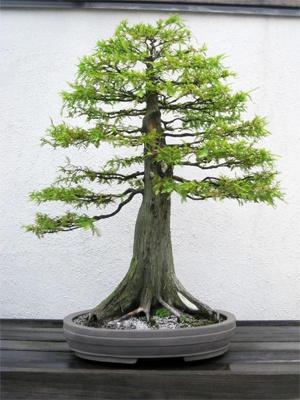 Cypress Bonsai