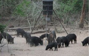 3 Tips To Get Started Wild Hog Hunting, spot and stalk hog hunting, hog vitals, where to shoot a hog and finding wild hog sign. hunting wild boar tips