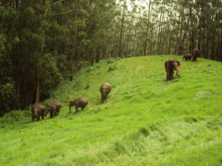 Elephants in Thekkady