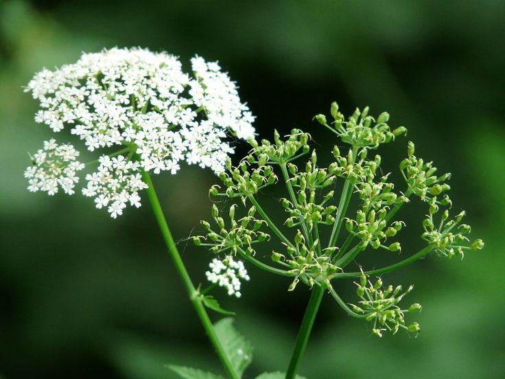 Ideal Giersch bek mpfen und nachhaltig im Garten entfernen Giersch das wohl unbeliebteste Unkraut schlechthin Es l sst sich nur sehr schwer im Garten bek mpfen