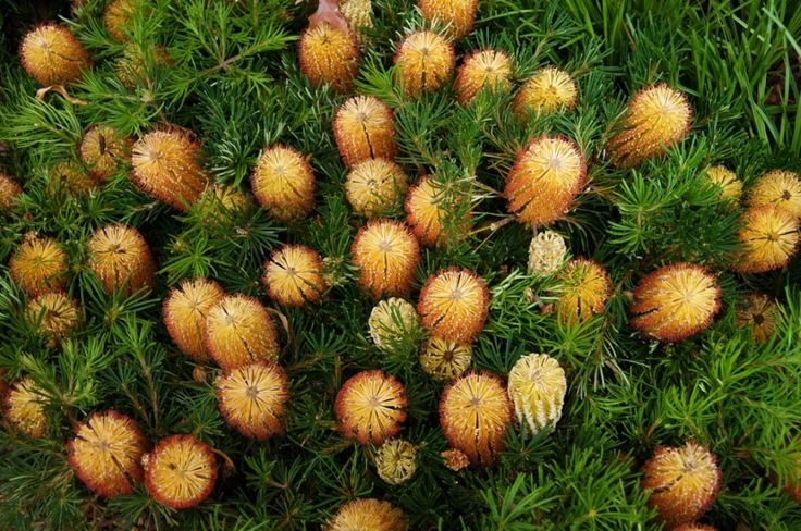 Banksia Birthday Candles --- For more Australian native plants visit austraflora.com