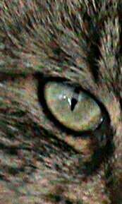 This is my photo of a even closer photo of a cats eye. I took many photos of my cats face and when I had the right one I cropped it till only the eye could be seen. I really like this one.