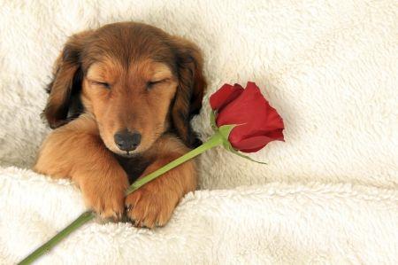 Happy Valentine's Day! - rose, cute, puppy, animal, dog, flower, sleep, red, sweet