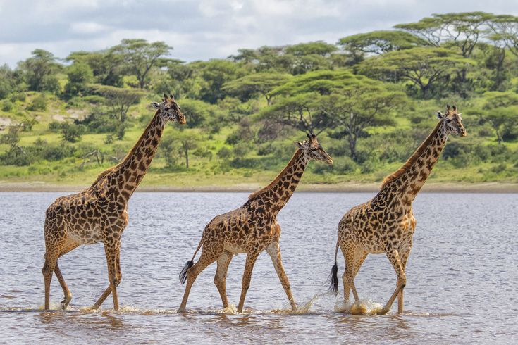 """""""Strolling"""" by Steve Grodin: Three giraffes out for a stroll in a lake in Tanzania."""