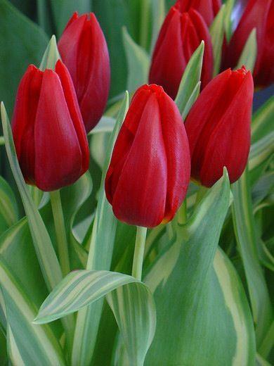 Quando o clima estiver seco ou com temperatura muito elevada, coloque uma pedrinha de gelo sobre o vaso de sua tulipa, isso ajudará a reduzir a temperatura.