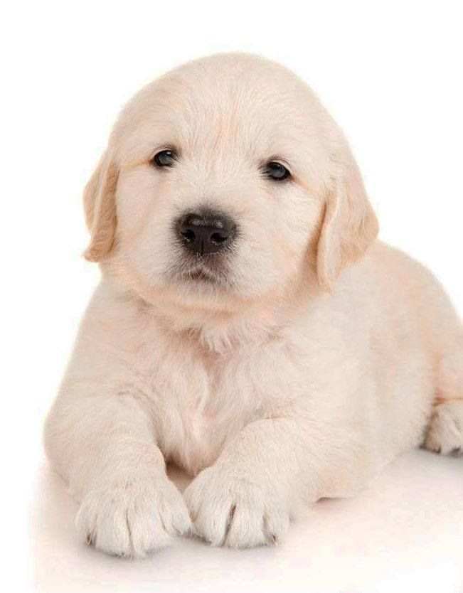 Cute Golden Retriever Puppy Images...find here www.fundogpics.com/golden-retriever-puppy-images.html