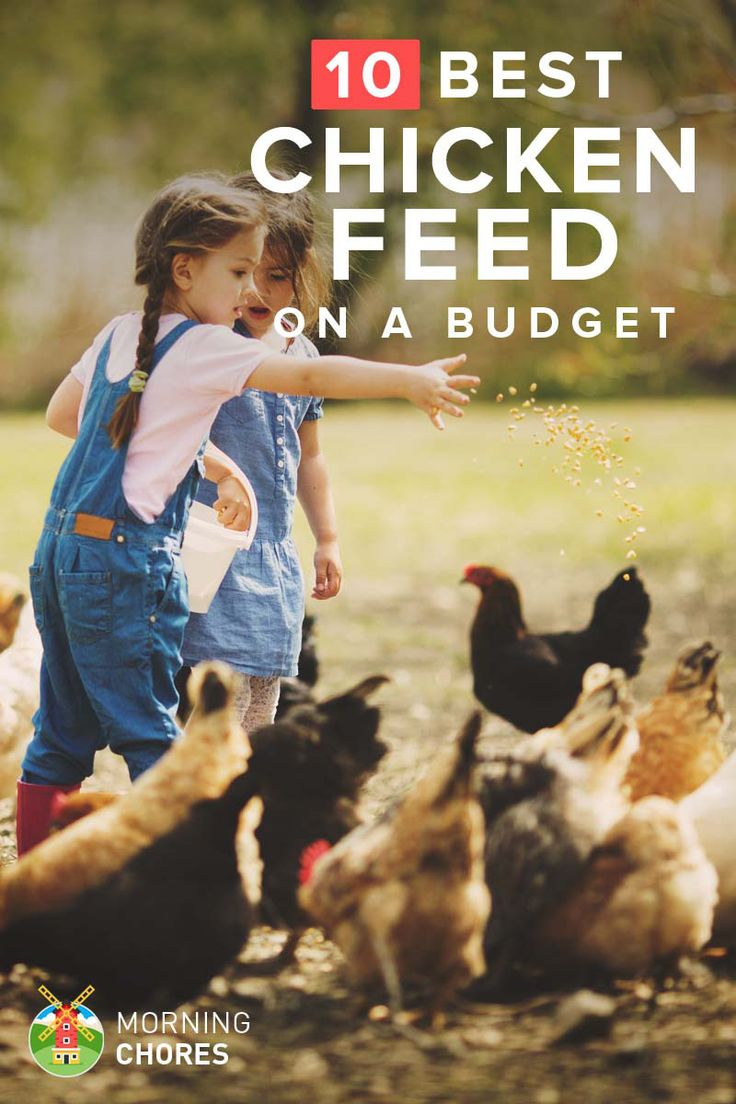 10 Cheap Chicken Feed That Won't Break Your Wallet, yet Still High in Nutrients: http://morningchores.com/cheap-chicken-feed/