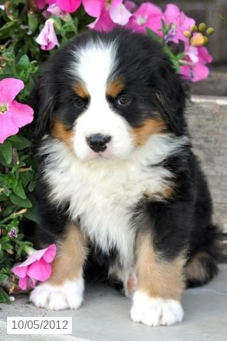 Oscar - Bernese Mountain Dog Puppy for Sale in Sugar Creek, OH - Bernese Mountain Dog - Puppy for Sale - Tap the pin for the most adorable pawtastic fur baby apparel! You'll love the dog clothes and cat clothes! <3