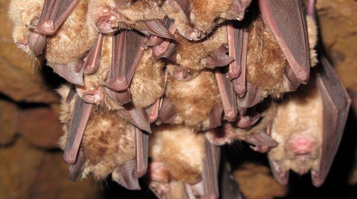 O morcego de ferradura grande (Rhinolophus ferrumequinum) vive sempre na mesma zona e os seus desprazamentos son moi limitados. Na Cova das Choias só está presente no inverno. Nos meses cálidos refúxiase en edificios abandonados e faiados