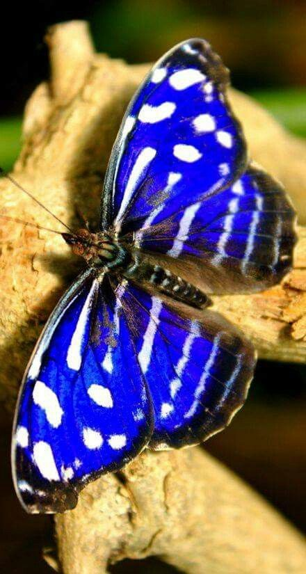 Blue butterfly with black and white stripes