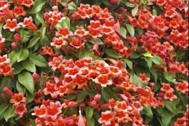 Bignonia  La Bignonia capensis / Tecoma capensis (Bignonia capensis) è una pianta rampicante sempreverde con foglie verde scuro che offre una stupenda fioritura duratura per tutta l'estate di colore da arancione a scarlatto, molto appariscente e decorativa.