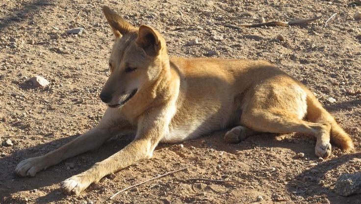 We saw few dingoes...