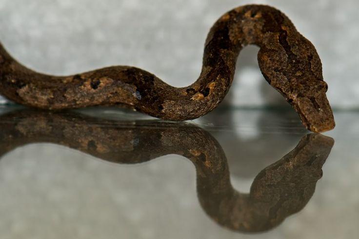 Solomon Island Ground Boa for Sale | Reptiles for Sale