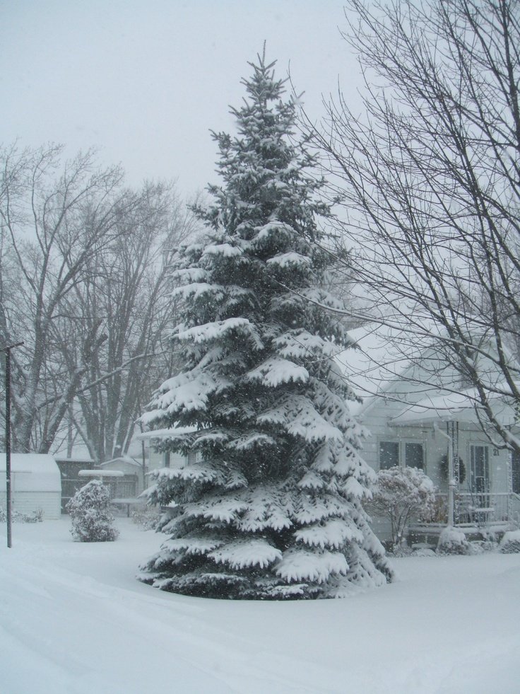 My Christmas tree - it only has to snow & it's fully decorated! :)
