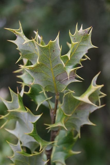 Quercus baloot Leaves on the 002 type tree at Arboretum de la Bergerette, showing pale undersides and the undulating margins that place spines both above and below the plane of the leaf  The Elusive Baloot | International Oak Society