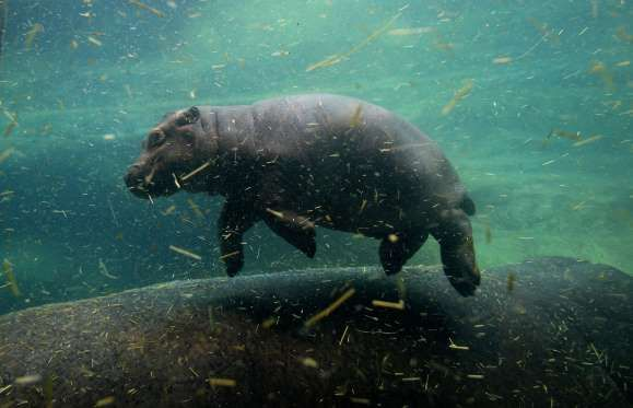 One month old Hippo Calf