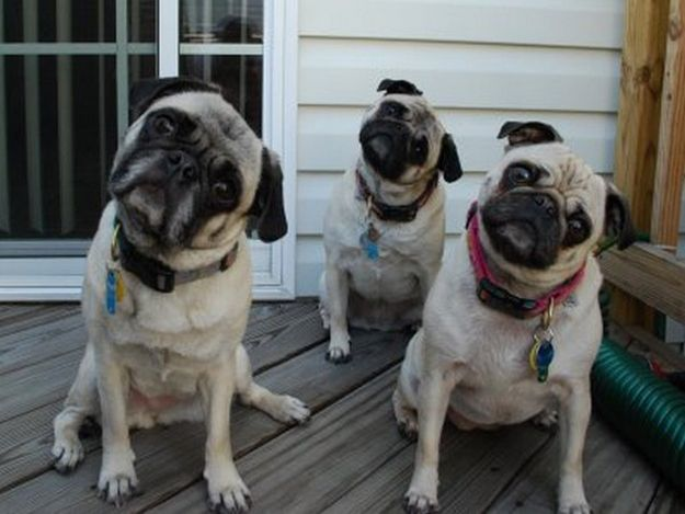 Pug head tilt!: Animal Kingdom, Funny Pugs, Head Tilt, Pets, Headtilt, Dogs Photos, Funny Dogs Pictures, Funny Animal, Pugs Life
