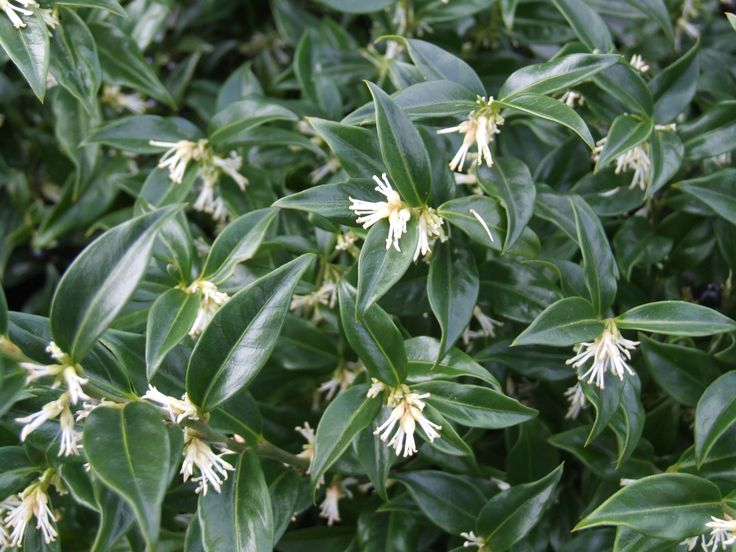Sarcococca confusa (Buxaceae)