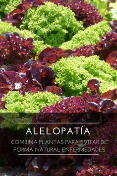 La Alelopatía combina plantas para evitar de forma natural enfermedades en la agricultura ecológica