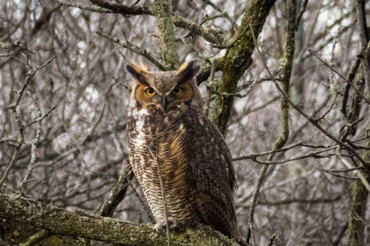 Close up on a Great Horned Owl, seen near Mt Albion, Hamilton, Ontario #HamOnt #owls #birds #autumn