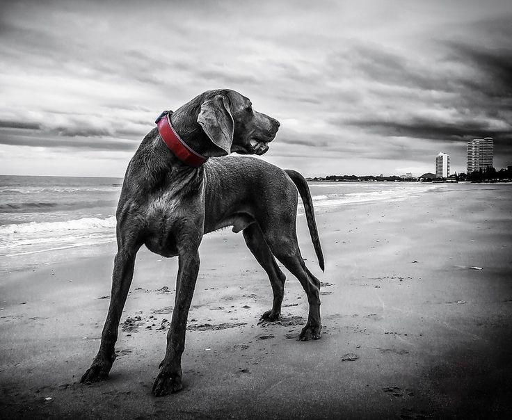 Weimarse Staande Hond, Strand, Thailand, Hond