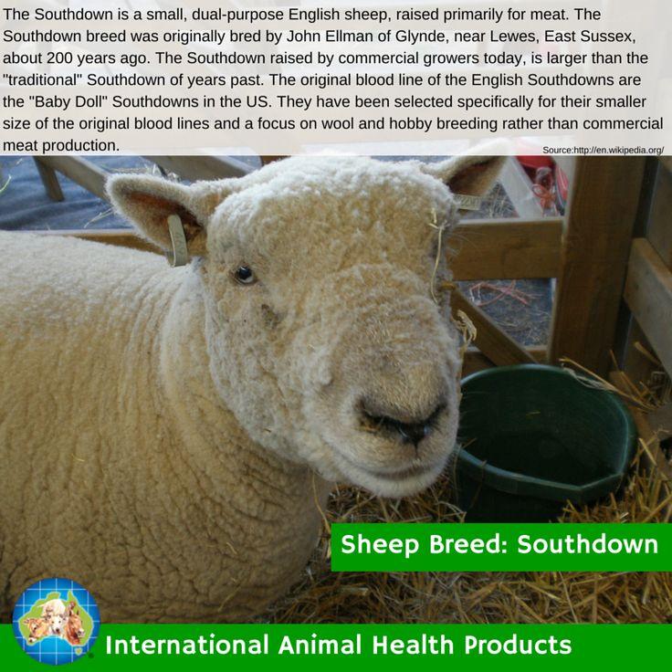 #southdownsheep #south #down #southdown #sheep #ram #ewe #lamb #sheepbreed #breed #facts #green #iah #iahp #internationalanimalhealth #poultry #animal #facts #breeds #livamol #protexin