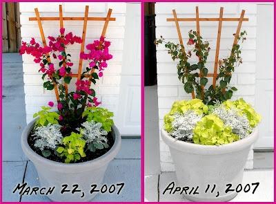 how to pinch coleus to help it growSecret Gardens, Pinch Coleus, Danielle Gardens, Gardens Blog, Daniel Gardens, How To, Gardens Dreams, Gardens Growing,  Flowerpot