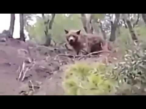 an Atlas bear was found in Algeriawhen everybody thinks it gone extinct https://www.youtube.com/watch?v=aGXOGrdCVDU