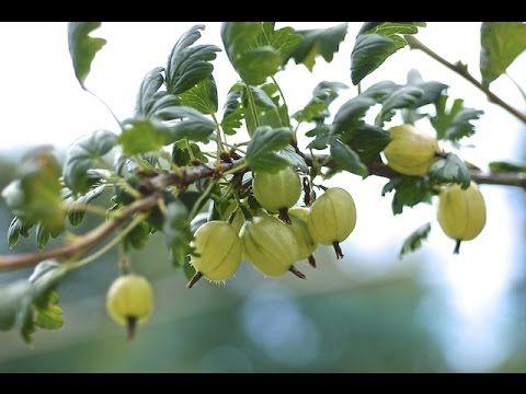 recipe: american gooseberry mildew treatment [35]