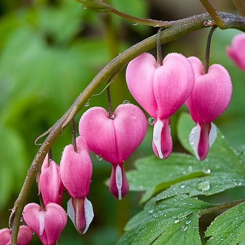 Bleeding Heart does not have a fussy growing habit. It can grow in different types of soils which is well-drained, average but organically rich and which is medium wet. It grows in areas where the sunlight is partial and which gradually turns to full shade. Another flower that reminds me of Wonderland.