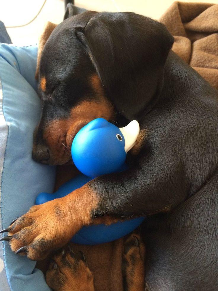 little dachshund cuddling her ducky.