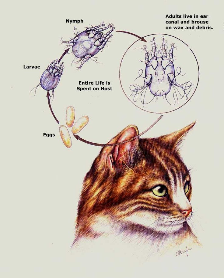 Natural Ear Mite Treatment For Cats
