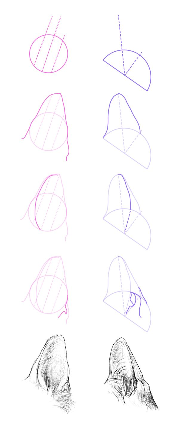 How To Draw Dog Ears Step 1 The Ancestor Of Dogs, A Wolf, Has