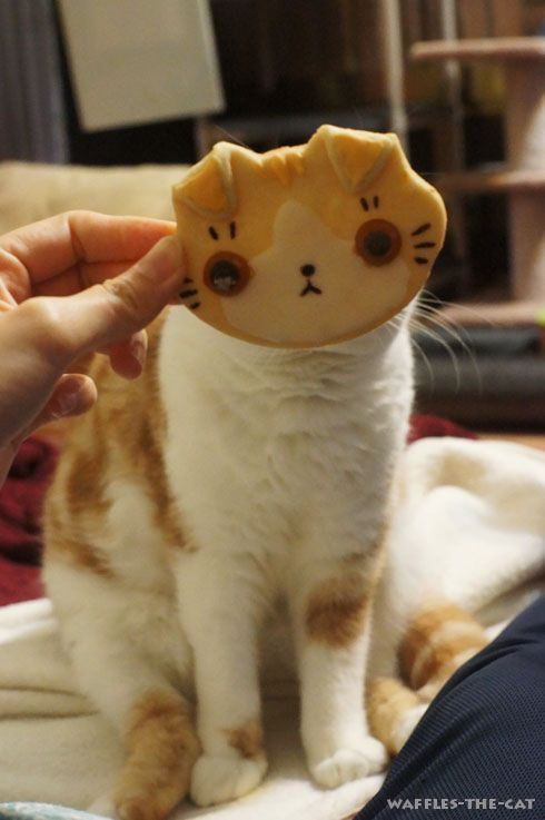 Oh hai. Scottish Fold Cookie!!!