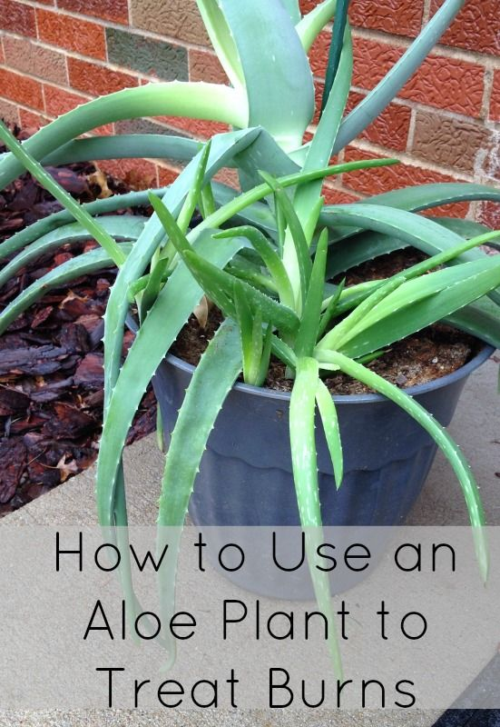How to use an aloe plant to treat burns.
