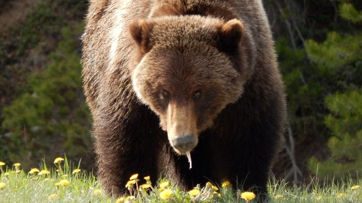 'It's not a bad bear': Why Bear 148 is still roaming free after multiple encounters with hikers
