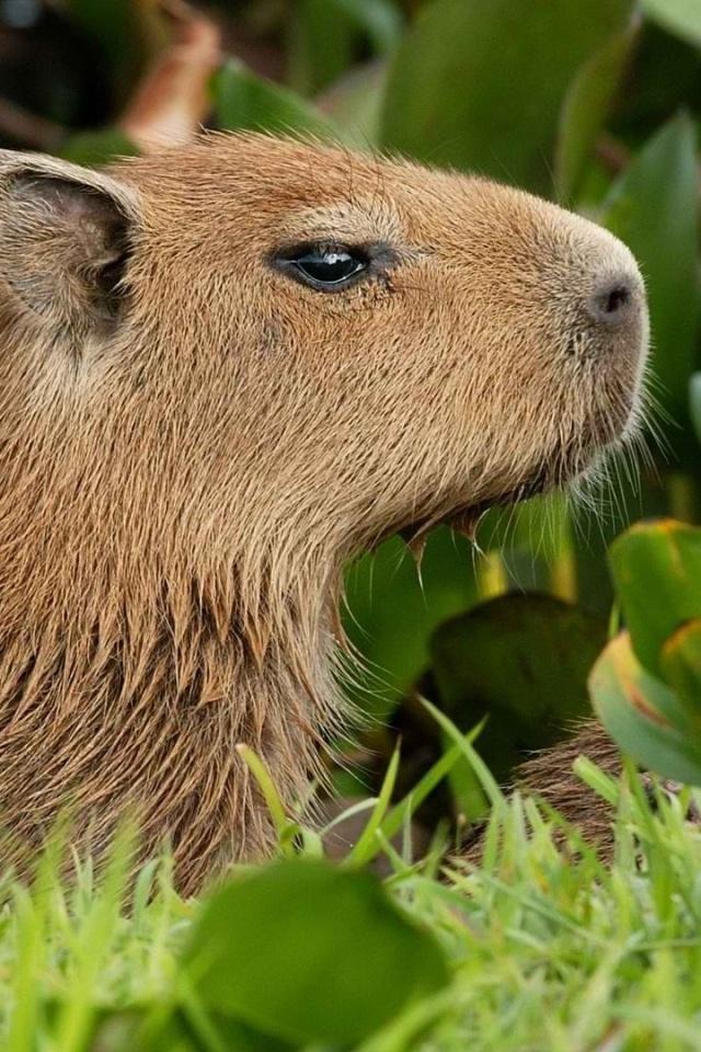 guinea pig, brown, grass, walk