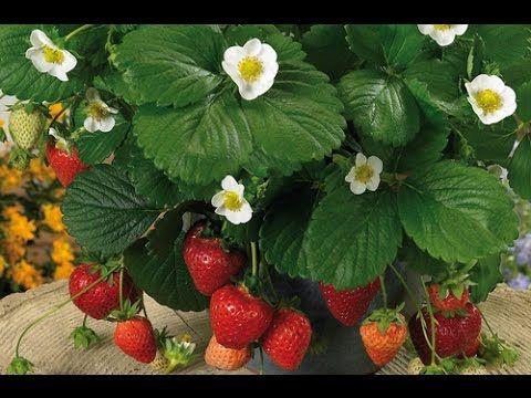 Comment multiplier vos fraisiers. Stolons, astuces. - YouTube