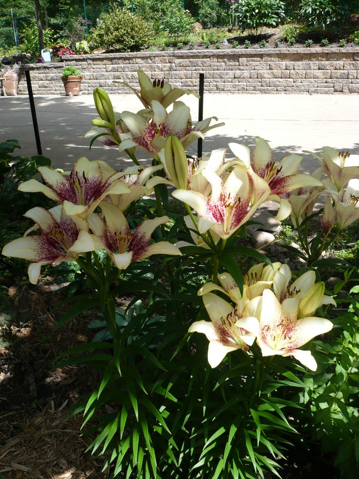Asiatic lily 'Patricia's Pride'.  I planted the bulbs on Easter Sunday and they are blooming now (July 31)