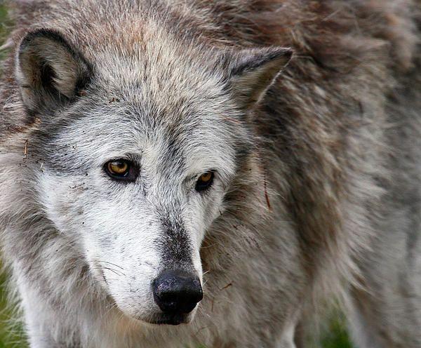 Wolf art. Grey wolf close up.
