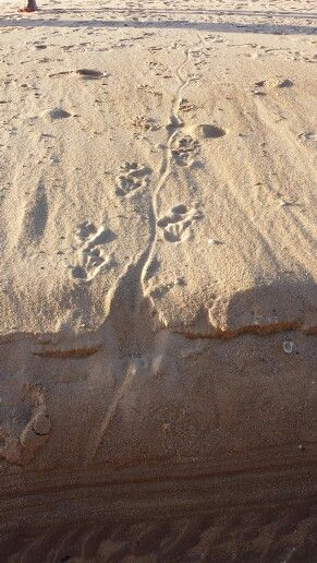 Croc tracks on the beach at Punsand Bay,  Cape York Australia.