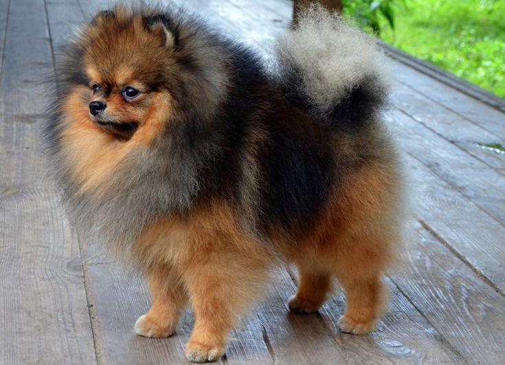 Dekoratív fajtájú kutyák: egy nagy lista a háziállatok és azok jellemzői (+ fotók) Német Spitz   Источник: http://vashipitomcy.ru/publ/sobaki/porody_sobak/dekorativnye_porody_sobak_bolshoj_spisok_pitomcev_i_ikh_kharakteristika_foto/23-1-0-1907