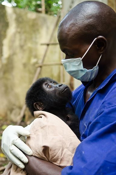 Looking Up: Eddy Kamable, a vet with the Mountain Gorilla Veterinary Project, holds Shamavu, the rescued baby gorilla.