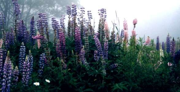 More Lupins in Nova Scotia this time at Cape Chigneto...in my favourite colours again.